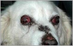 Cane met. : esiti di uveite bilaterale grave da leishmania.