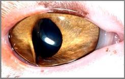 Gatto: sinechia anteriore e deformazione del foro pupillare.