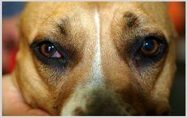 Cane: sindrome di horner con interessamento dell'occhio destro.