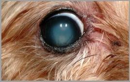 Cane met.: degenerazione del vitreo.