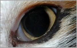 Gatto: occhio normale.