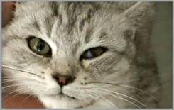 Gatto: procidenza della terza palpebra a sinistra in conseguenza della sindrome di Horner.
