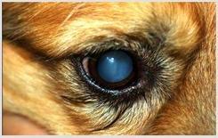 Cane: opacizzazione del cristallino (cataratta).