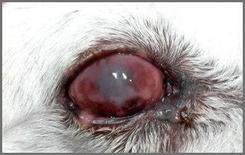 Esiti di uveite da Leishmania.