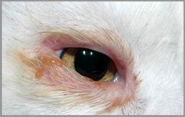 Entropion della palpebra inferiore nel gatto: il margine della parte centrale della palpebra inferiore non risulta visibile in quanto introflesso .