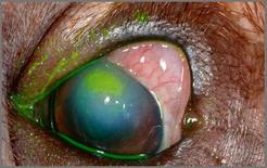Presentazione di ulcera corneale da entropion dopo istillazione di fluoresceina.