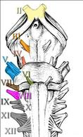 Descrizione schematica dei nervi cranici che influenzano l'attività dell'occhio (dal II all'VIII).