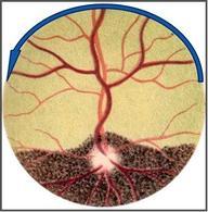 Rappresentazione schematica del fondo dell'occhio del bovino: in caso di paralisi del nervo trocleare può essere evidenziata la rotazione della vena dorsale retinica.