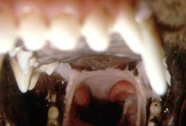 Cane: faringe con tonsille aumentate di volume (extracriptiche).