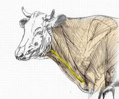 Regione della doccia giugulare nel bovino: limitata superiormente dal muscolo brachiocefalico e ventralmente dal muscolo sternocefalico.