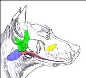Cane: ghiandole salivari.