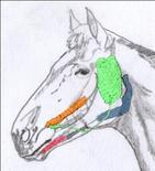 Cavallo: ghiandole salivari.