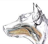 Cane: rapporto palato molle/epiglottide.