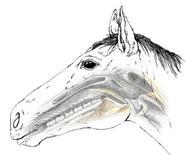 Cavallo: rapporto palato molle/epiglottide.