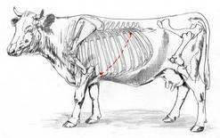 Area ascoltazione bovino.