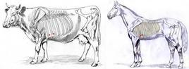 Reperi per la toracocentesi nel bovino e nel cavallo.
