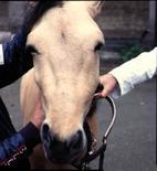 Cavallo: modifica del profilo del naso da pitirosi.
