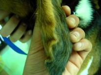 Cane: ispessimento del padiglione auricolare da otoematoma.
