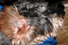 Cane: neoplasia peduncolata localizzata all'imbocco del condotto uditivo esterno.