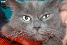 Gatto: sindrome di Horner a sinistra.