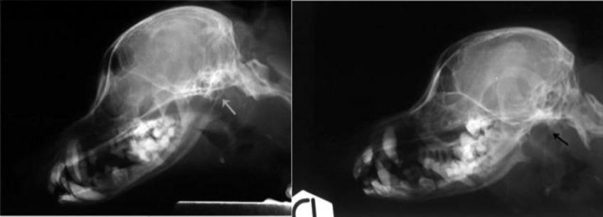 Stesso soggetto dell'immagine della slide precedente: esame in proiezione laterale. Nell'immagine a sinistra si vede la bolla timpanica (f. bianca) mentre, a destra, i margini ossei sono erosi (f. nera).