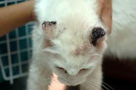 Carcinoma squamocellulare bilaterale della pinna nel gatto .