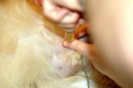 Cistocentesi con accesso laterale nel cane affetto da ostruzione uretrale acuta da calcoli.