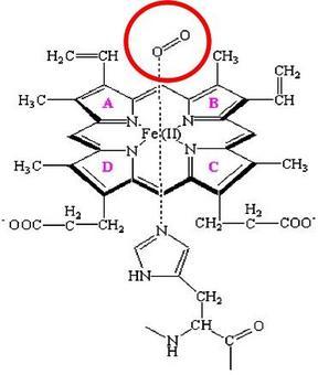 Proxymal Histidine.
