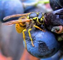 Vespide che si alimenta di da un chicco d'uva. Foto di Domenico Fulgione.