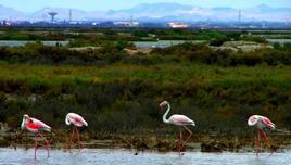 Fenicotteri nello stagno di Cagliari, la forma del becco  è un adattamento alla pesca di invertebrati lagunari. Foto di Domenico Fulgione.