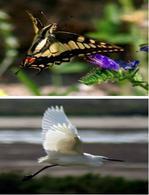 Volo di lepidottero (macaone, sopra) volo di uccello (garzetta, sotto). Foto di Domenico Fulgione.
