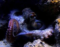 Polpo, organismo appartenente al Phylum dei Molluschi, Classe Cefalopodi. Foto di Domenico Fulgione.
