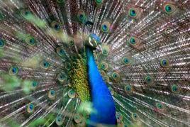 Pavone appartenente al phylum dei Cordati, al subphylum dei Vertebrati, alla classe degli Uccelli. Le penne, piume sul corpo sono caratteri diagnostici per questi animali. Foto di Domenico Fulgione.