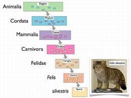 Classificazione di un gatto selvatico secondo la nomenclatura binomiale. Disegno e foto di Domenico Fulgione.
