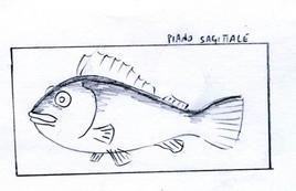 Esempio di simmetria bilaterale in un pesce. Disegno  di Domenico Fulgione.