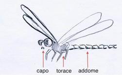 Esempio di metameria eteronoma nella libellula. Capo, torace ed addome rappresentano 3 tagmi di metameri ciascuno con specifiche funzioni. Disegno di Domenico Fulgione.