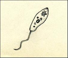 Euglena gracilis presenta alla base del flagello una macchia oculare o stigma, pigmento che scherma un rigonfiamento fotosensibile (corpo paraflagellare) permettendo alla luce proveniente da una certa direzione di illuminarlo. Quando il corpo paracellulare è colpito dalla luce fa si che il flagello sia messo in movimento verso la luce. Disegno di Daniela Rippa.
