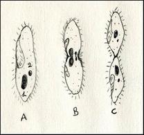 Riproduzione asessuale. Scissione binaria in un ciliato (A). Il micronucleo si divide per mitosi (B) mentre il macronucleo si allunga e si divide quando la cellula subisce la costrizione (C). Disegno di Daniela Rippa.