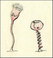 Vorticella, tipico ciliato sessile (a sinistra con peduncolo allungato e a destra con peduncolo contratto). Disegno di Daniela Rippa.