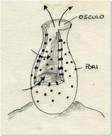 Forma del corpo di una spugna. Disegno di Daniela Rippa.
