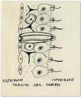 Parete del corpo dei Porifera: 1 Pinacoderma, 2 Mesoilia, 3 Coanoderma, 4 Ostio (poro), 5 Porocita. Disegno di Daniela Rippa.