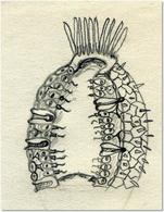 Corpo dei Porifera: 1 Porocita, 2 Ostio, 3 Spongocele, 4 Osculo. Disegno di Daniela Rippa.