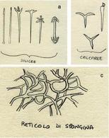 Struttura microscopica delle strutture scheletriche delle spugne: a) spicole silicee, b) spicole calcaree, c) spongina. Disegni di Daniela Rippa.