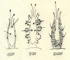 Forme del corpo delle spugne. Disegni di Daniela Rippa.
