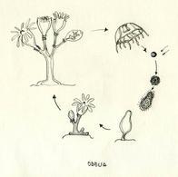 Ciclo biologico di Obelia: 1 Medusa, 2 Spermatozoi ed uova, 3 Planula, 4 Planula insidiata, 5 Colonia giovane, 6 Colonia adulta, 7 gonozoide. Disegno di Daniela Rippa.