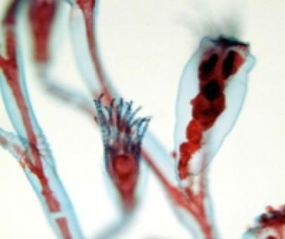 Obelia; gonozoidi e gastrozoidi. Foto Biagio D'Aniello.