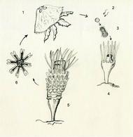 Ciclo biologico di Aurelia: 1 Medusa, 2 Spermatozoi ed uova, 3 Planula, 4 Scifistoma, 5 Strobilo, 6 Efira. Disegno di Daniela Rippa.