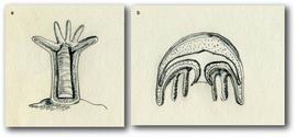 Forme del corpo degli Cnidari: a) polipo, b) medusa. Disegni di Daniela Rippa.