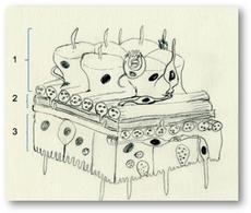 Parete del corpo: 1 epidermide, 2 mesoglea, 3 gastroderma. Disegno di Daniela Rippa.