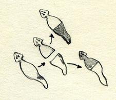 Riproduzione assessuale mediante scissione trasversale.  Disegno di Daniela Rippa.